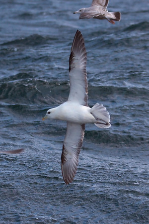 Northern Fulmar light morph (6) offshore from Hatteras, NC (02-16-2009)