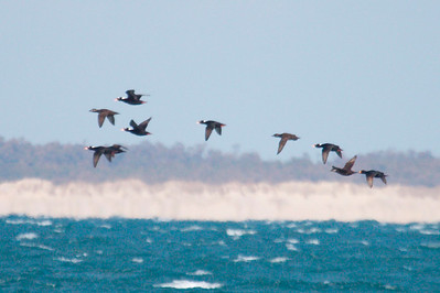 Surf and Black Scoters offshore from Hatteras, NC (02-16-2009)