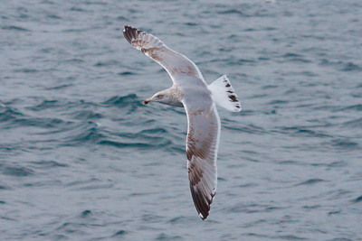 American Herring Gull third cycle (0001) offshore from Hatteras, NC (02-14-2009) psd