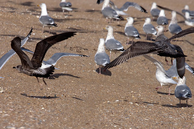 Lesser Black-backed Gull first cycle with American Herring Gull first cycle (2) at Cape Hatteras, NC (02-15-2009)
