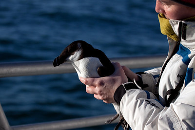 Razorbill basic (3) offshore from Hatteras, NC (02-14-2009)