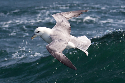Northern Fulmar light morph (2) offshore from Hatteras, NC (02-16-2009)