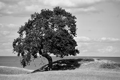 Träd på Ravlundafältet - B&W