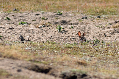 Kanin på Ravlundafältet