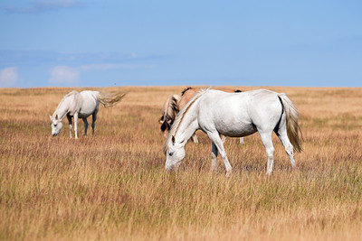 Hästar på Ravlundafältet