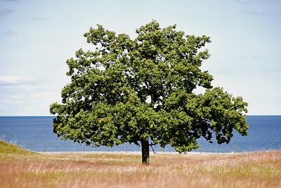 Träd på Ravlundafältet