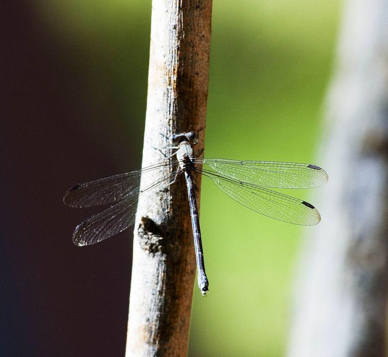 Dragonfly1 copy