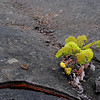 New life on former lava lake, Kilauea Iki