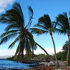 Palm trees on the Kohala coast (near Kiholo Bay)