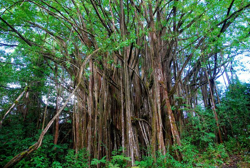 Banyan tree near Akaka Falls