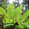 Ferns in rainforest near Kilauea Iki