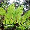 Ferns in rainforest near Kilauea Iki