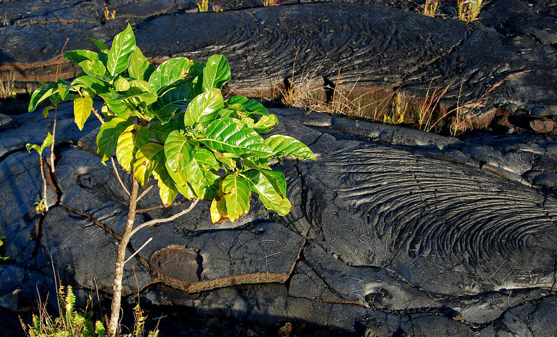 New life on pahoehoe lava