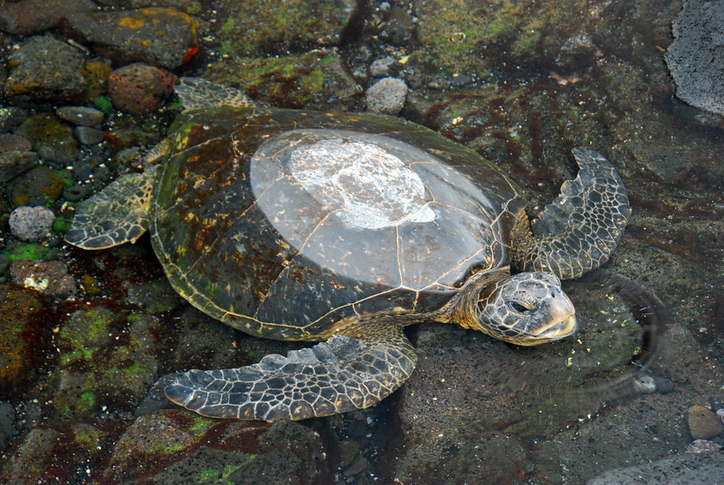 Green turtle, Punalu'u Beach