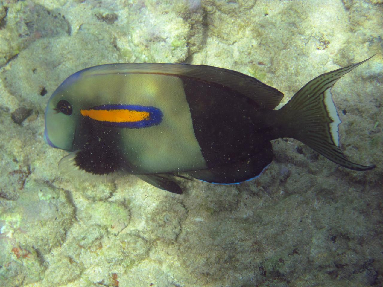 Orangeband surgeonfish (Acanthurus olivaceus)