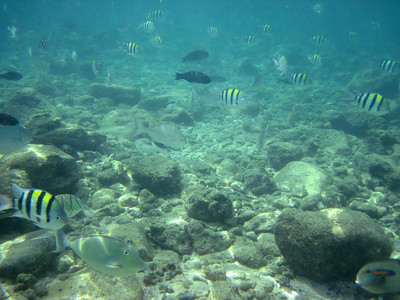 Underwater scenery at Poipu Beach with lots of Indo-Pacific sergeants (Abudefduf vaigiensis)