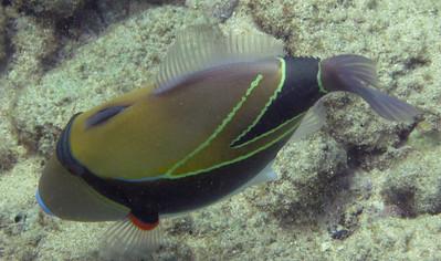 Wedgetail triggerfish / Humuhumunuknukuapua'a / Picasso triggerfish (Rhinecanthus rectangulatus)
