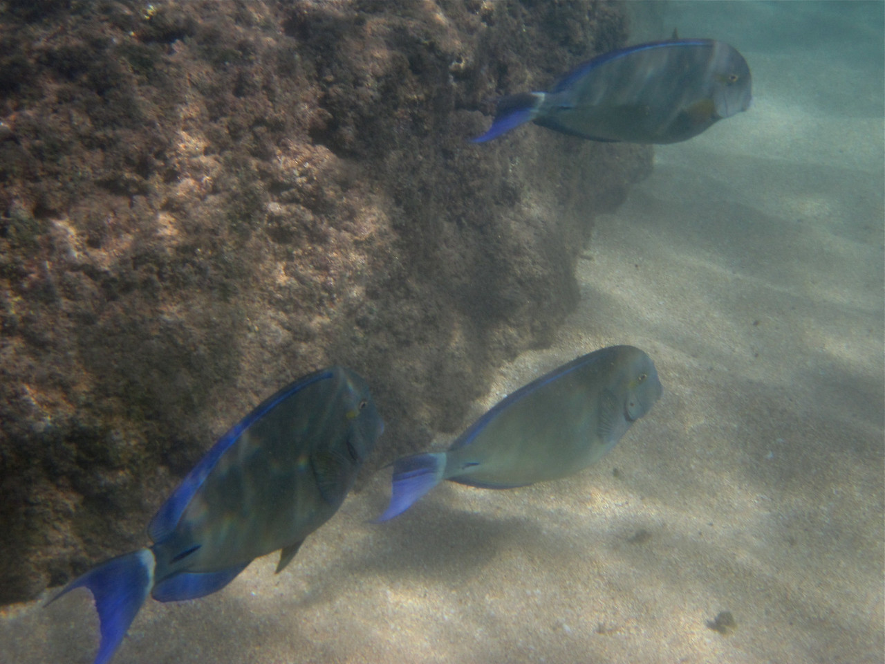 Ringtail surgeonfish (Acanthurus blochii)