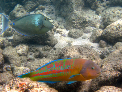 Bluespine unicornfish (top) and Christmas wrasse (below)