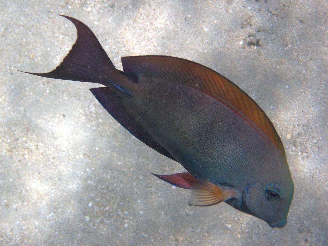 Brown surgeonfish (Acanthurus nigrofuscus)