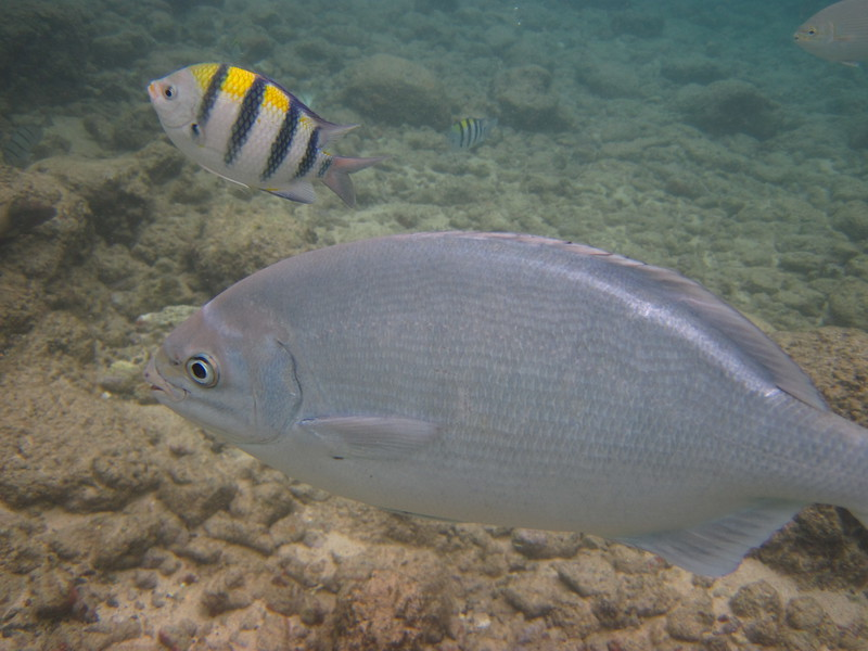 Gray chub (Kyphosus sandwicensis) with a sergeant above