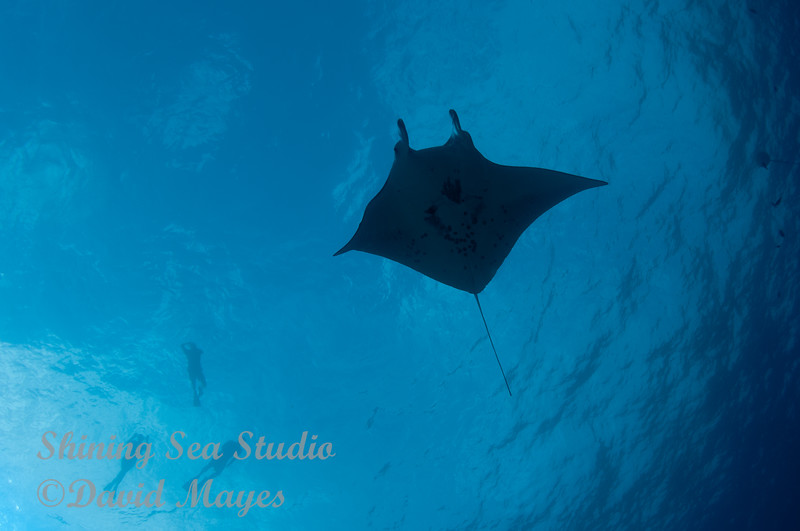Manta with Snorkelers