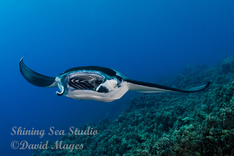 Manta being cleaned by Wrasse
