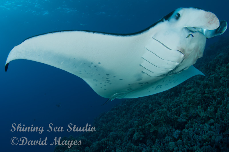 Manta with cleaner wrasse