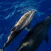Napali_Coast_Bottlenose_Dolphins_Kauai_10-1-14_IMG_1002