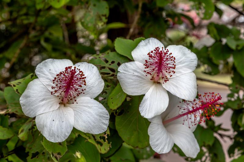 White_Hibiscus_Kauai_10-1-14IMG_0792