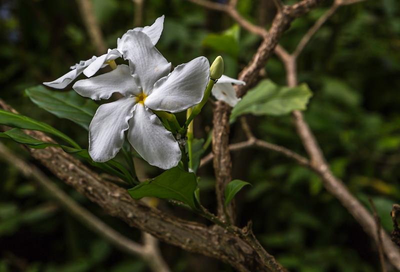 Plumeria_Allerton_Garden_Kauai_9-28-14IMG_0530