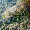 Turtle_Poipu_Kauai_10-2-14_IMGP1724