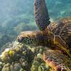 Turtle_Poipu_Kauai_10-2-14_IMGP1721