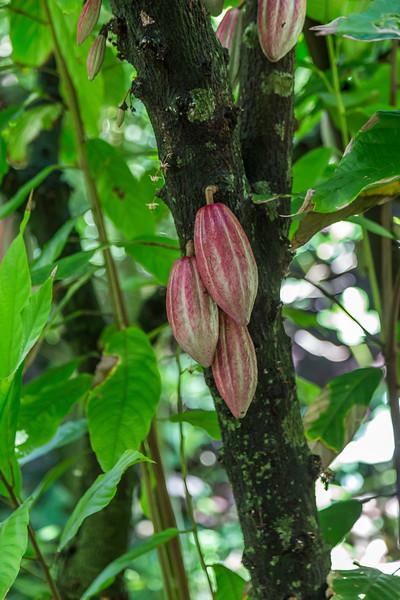 Cacao_McBryde_Garden_Kauai_10-2-14IMG_1178