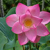 Lotus Blossom-Allerton_0523-2