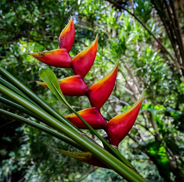 Red_Heliconias_Allerton_Garden_Kauai_9-28-14_IMG_0472