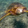 Turtle_Poipu_Kauai_10-2-14_IMGP1713