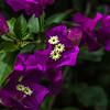 Bougainvillea_Allerton_Garden_Kauai_9-28-14_IMG_0521