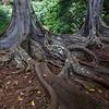 Jurassic_Trees_Allerton_Garden_Kauai_9-28-14_IMG_0480