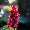 Red_Tower_Ginger_Allerton_Garden_Kauai_9-28-14_IMG_0401