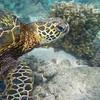 Turtle_Poipu_Kauai_10-2-14_IMGP1719