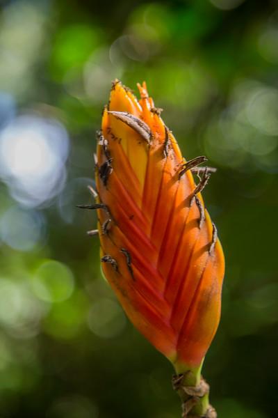 Red-Orange_Spear_Heliconia_McBryde_Garden_Kauai_10-2-14IMG_1153