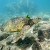 Turtle_Poipu_Kauai_10-1-14_IMGP1718