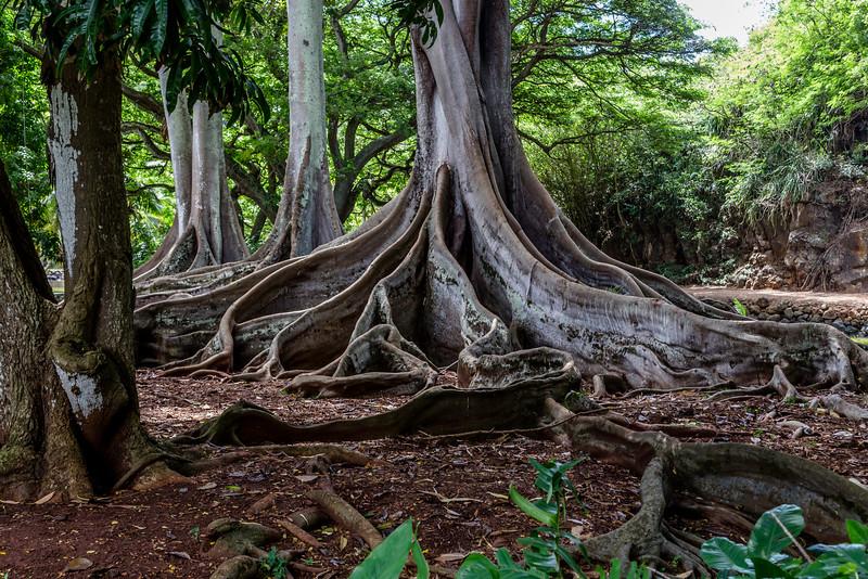 Jurassic_Trees_Allerton_Garden_Kauai_9-28-14_IMG_0474