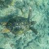 Turtle_Poipu_Kauai_10-1-14_IMGP1717