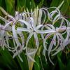 Flower_Poipu_Kauai_10-3-14_IMGP1745