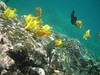 There are hordes of yellow tangs which graze on the algae.