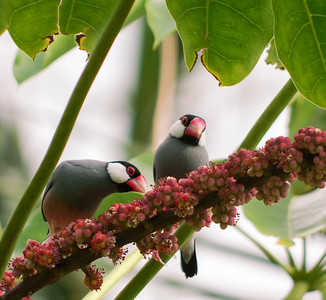 Pair of Java Sparrows Breeding