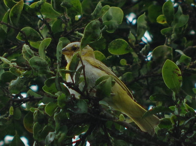 unknown yellow bird