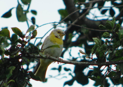 unknown yellow bird
